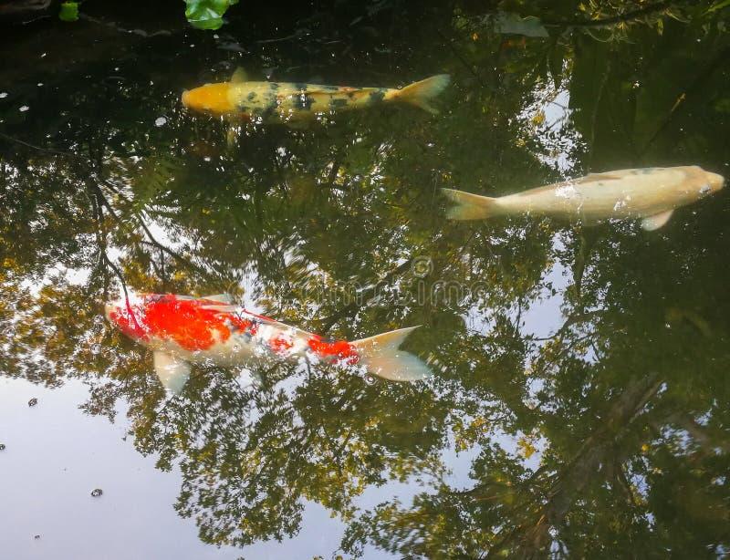 Τρία ψάρια Koi ή τα ψάρια κυπρίνων κολυμπούν ευτυχώς στα ψάρια λιμνών στοκ φωτογραφία