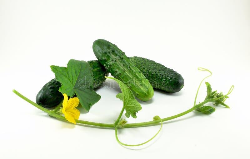 Τρία ώριμα νέα, πράσινα αγγούρια και ένα κλαδάκι με ένα λουλούδι στοκ εικόνα