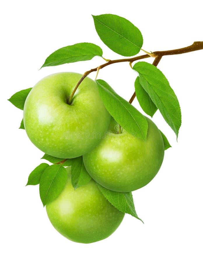 Apple που απομονώνεται η πράσινη Τρία ώριμα juicy μήλα στον κλάδο με τα φύλλα που απομονώνονται στο άσπρο υπόβαθρο ως σχέδιο συσκ στοκ φωτογραφίες με δικαίωμα ελεύθερης χρήσης