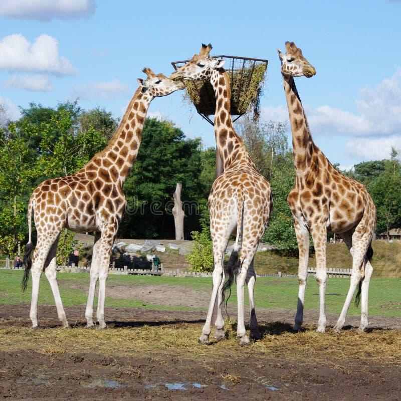 Τρία giraffe φαγητό στο ζωολογικό κήπο στοκ φωτογραφία με δικαίωμα ελεύθερης χρήσης