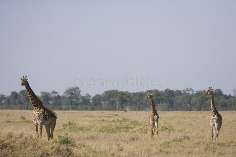 Τρία Giraffes που περπατούν στις πεδιάδες του Masai Mara στοκ εικόνα με δικαίωμα ελεύθερης χρήσης