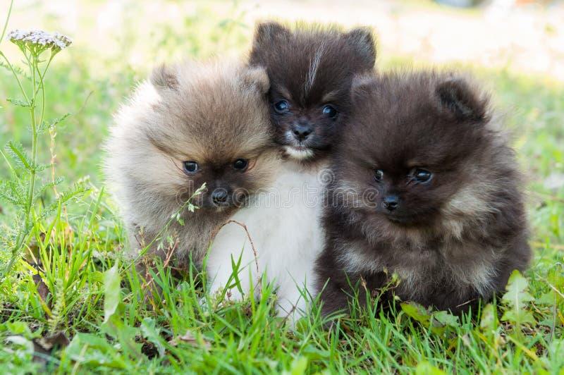Τρία pomeranian σκυλιά κουταβιών έξω στοκ φωτογραφίες με δικαίωμα ελεύθερης χρήσης