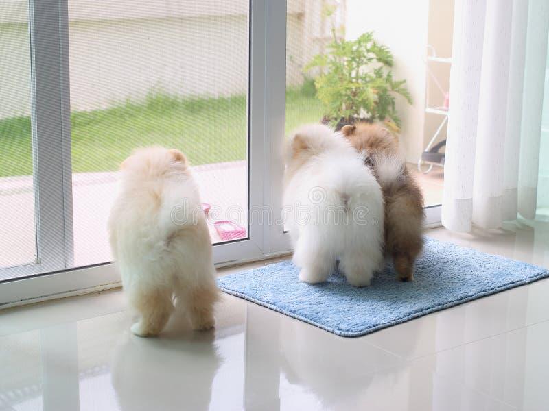 Τρία pomeranian σκυλιά κουταβιών στο σπίτι στοκ εικόνα με δικαίωμα ελεύθερης χρήσης