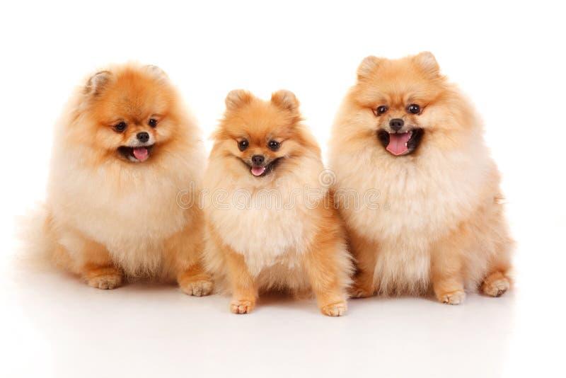 Τρία Pomeranian Spitzes στοκ φωτογραφία με δικαίωμα ελεύθερης χρήσης
