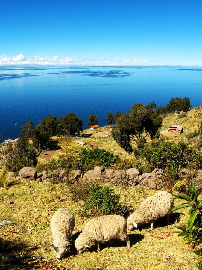 Τρία sheeps που τρώνε τη χλόη κοντά σε μια λίμνη στοκ εικόνες με δικαίωμα ελεύθερης χρήσης