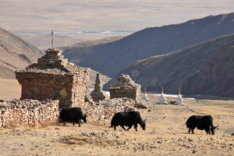 Τρία yaks στο Θιβέτ στοκ εικόνα