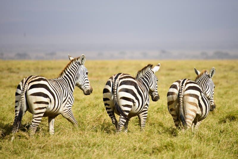 Τρία zebras στη σαβάνα στοκ εικόνα