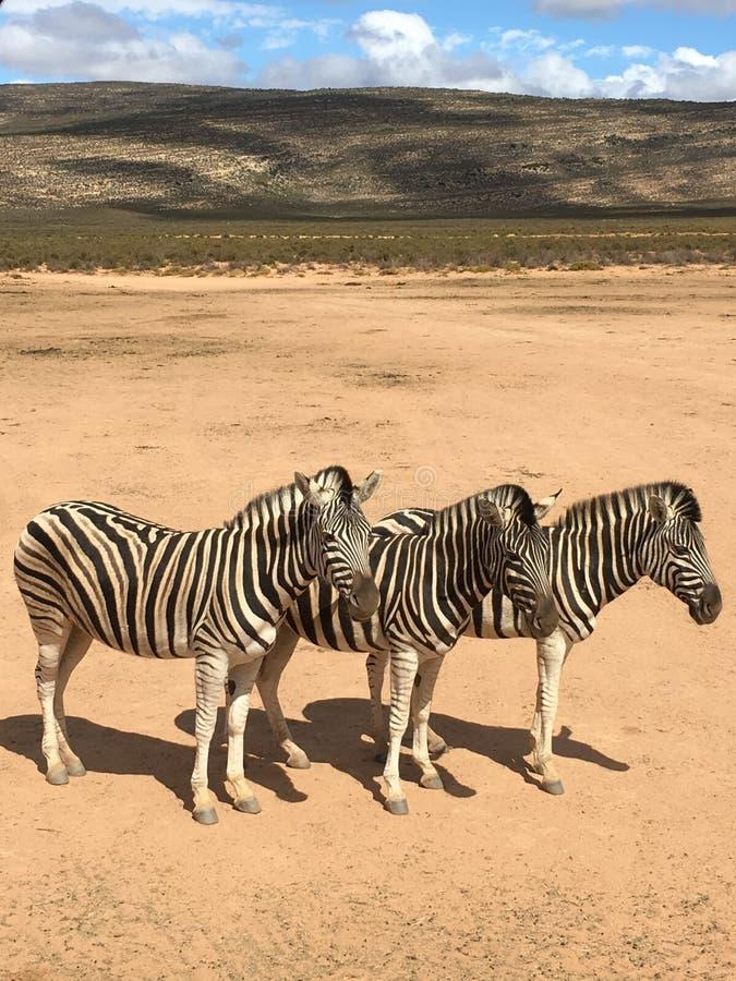 Τρία zebras στοκ φωτογραφία