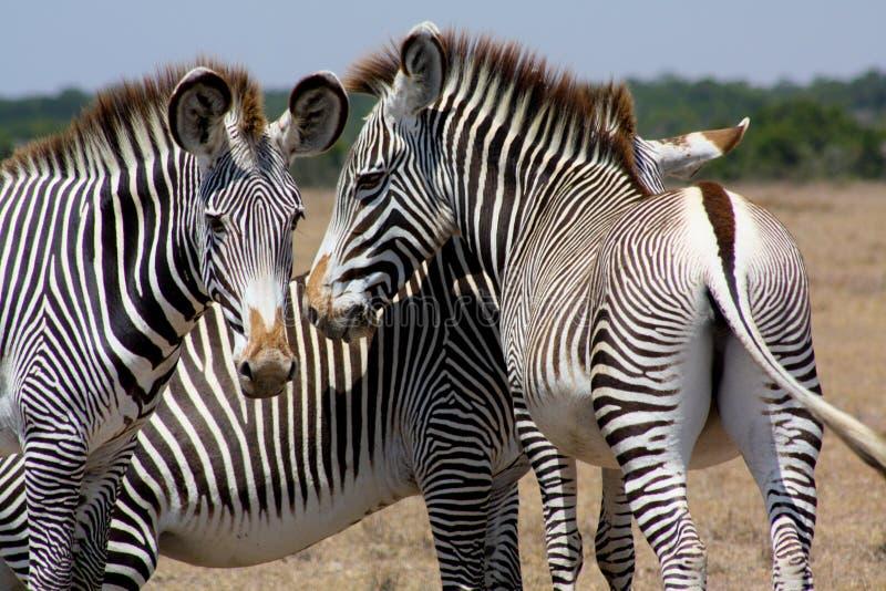 Τρία zebras Grevy ` s στοκ εικόνες με δικαίωμα ελεύθερης χρήσης