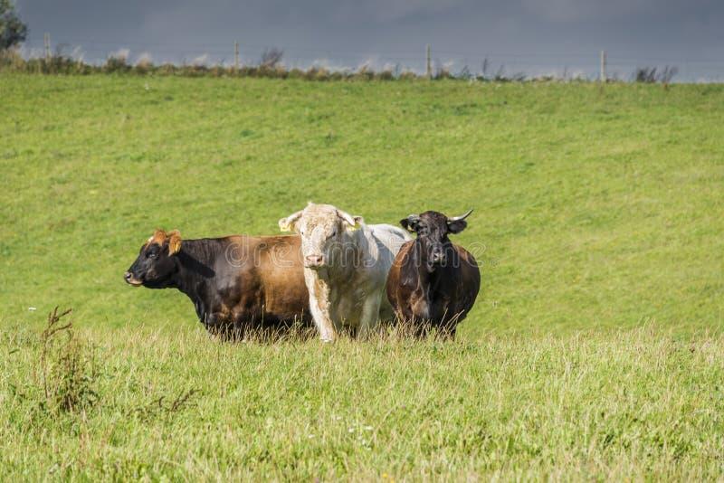 Τρίο αγελάδων στοκ εικόνα