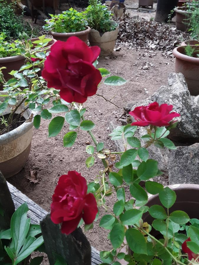 Τρίο των κόκκινων τριαντάφυλλων στοκ εικόνα