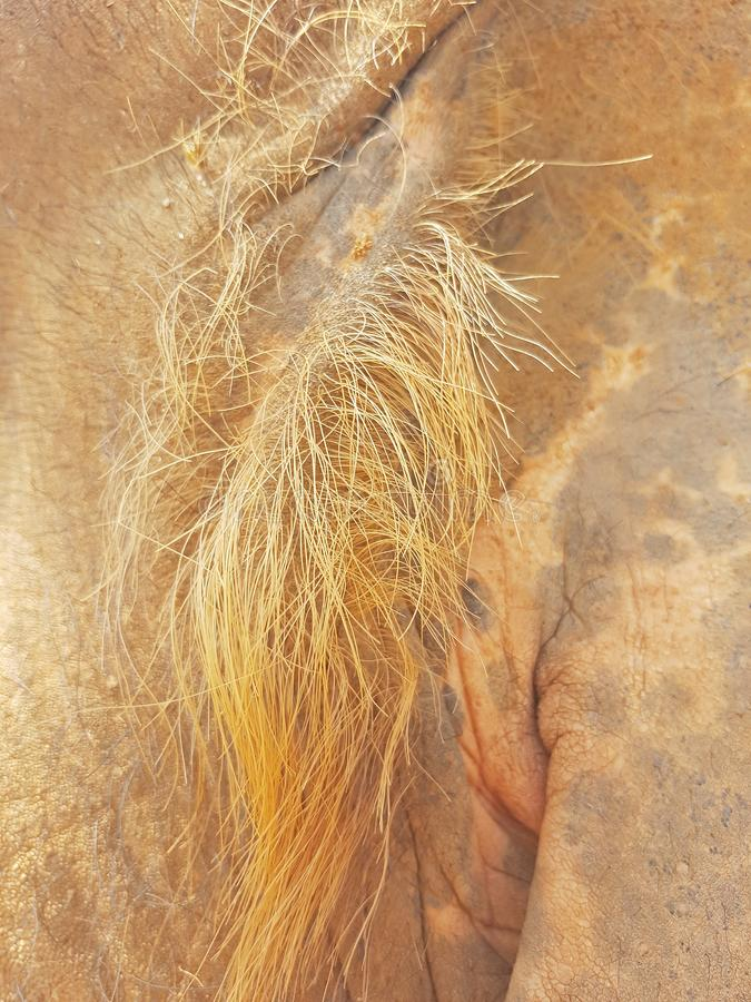 Τρίχα ελέφαντα στο αυτί στοκ εικόνες