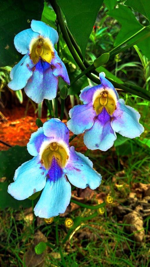 Τρίδυμα του θαυμάσιου λουλουδιού στοκ φωτογραφία με δικαίωμα ελεύθερης χρήσης