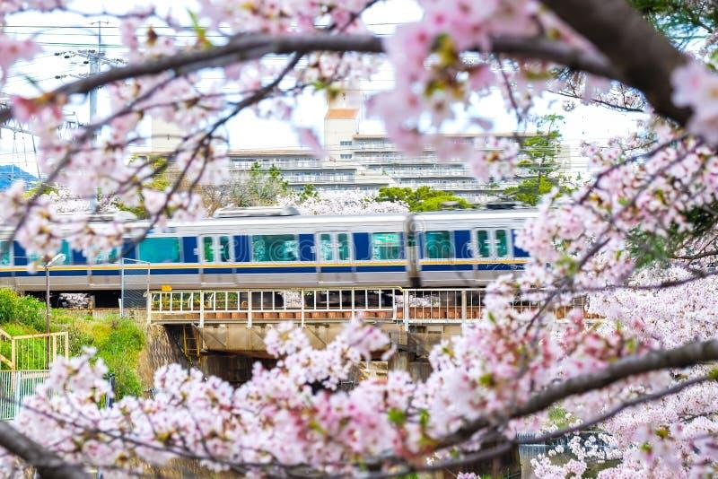 Τραίνο JR στο σιδηρόδρομο με το πρώτο πλάνο λουλουδιών ανθών sakura στοκ εικόνες με δικαίωμα ελεύθερης χρήσης
