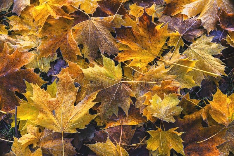Τραγανά παγωμένα πεσμένα φύλλα φθινοπώρου στοκ εικόνες
