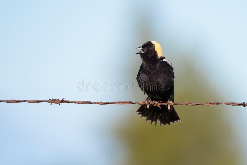 Τραγούδι πουλιών Bobolink στο φράκτη στοκ φωτογραφία με δικαίωμα ελεύθερης χρήσης