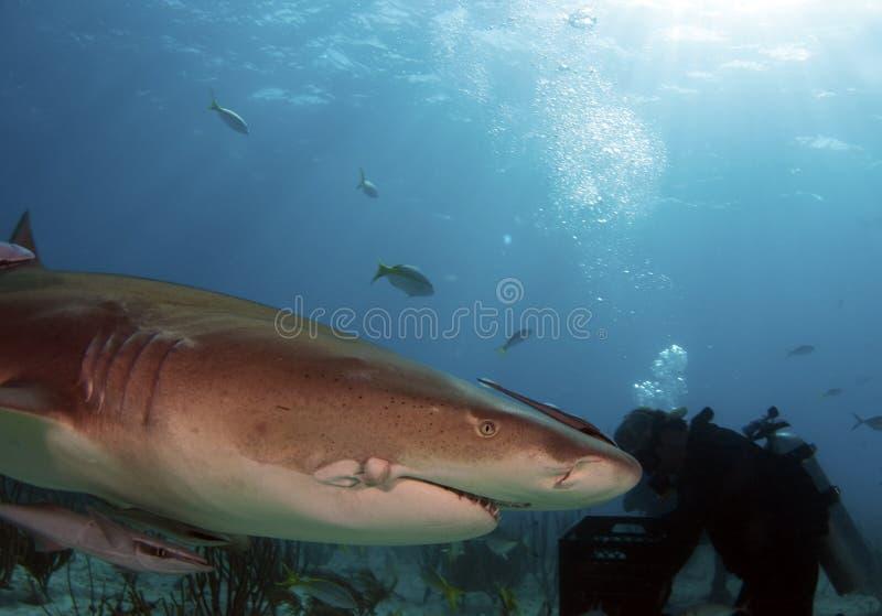 τραυματισμένος καρχαρία&sig στοκ φωτογραφίες