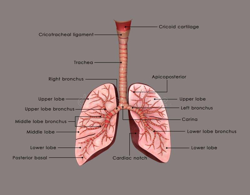 Τραχεία και πνεύμονες διανυσματική απεικόνιση