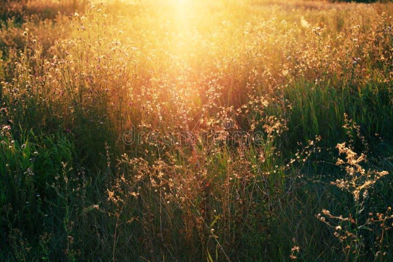 Τραχιοί θάμνοι κάρδων με τους χνουδωτούς σπόρους το φθινόπωρο στοκ εικόνα με δικαίωμα ελεύθερης χρήσης