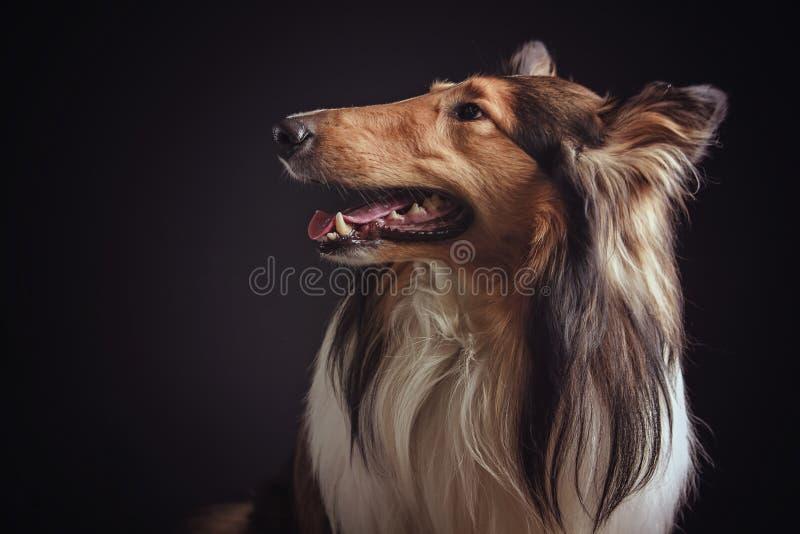 Τραχύ κόλλεϊ - σκωτσέζικος ποιμένας (lassie) κοκκώδες χρώμα στοκ φωτογραφία με δικαίωμα ελεύθερης χρήσης