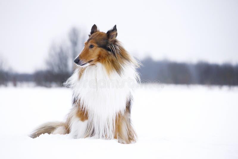 Τραχύ κόλλεϊ στο χειμερινό δάσος στοκ φωτογραφίες