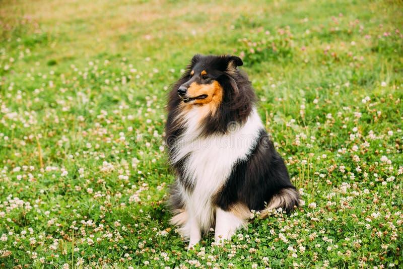 Τραχύ κόλλεϊ Tricolor, σκωτσέζικο κόλλεϊ, μακρυμάλλες κόλλεϊ Lassie στοκ φωτογραφίες