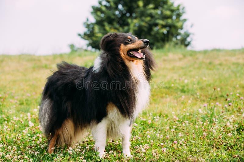 Τραχύ κόλλεϊ Tricolor, σκωτσέζικο κόλλεϊ, μακρυμάλλες κόλλεϊ Lassie στοκ εικόνες