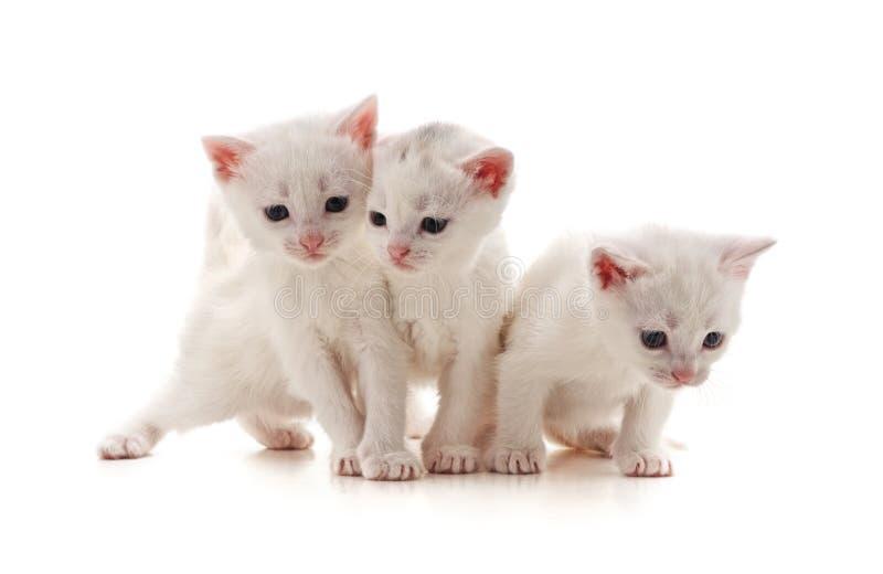 Τρεις άσπρες γάτες στοκ φωτογραφίες με δικαίωμα ελεύθερης χρήσης