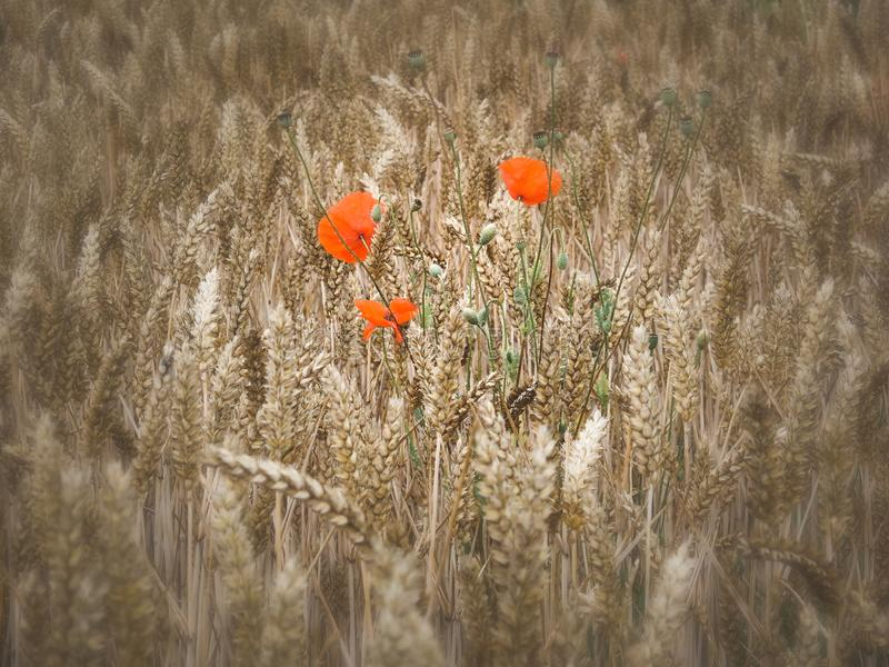 Τρεις απομονωμένες παπαρούνες που αυξάνονται cornfield σε Ely στοκ φωτογραφία