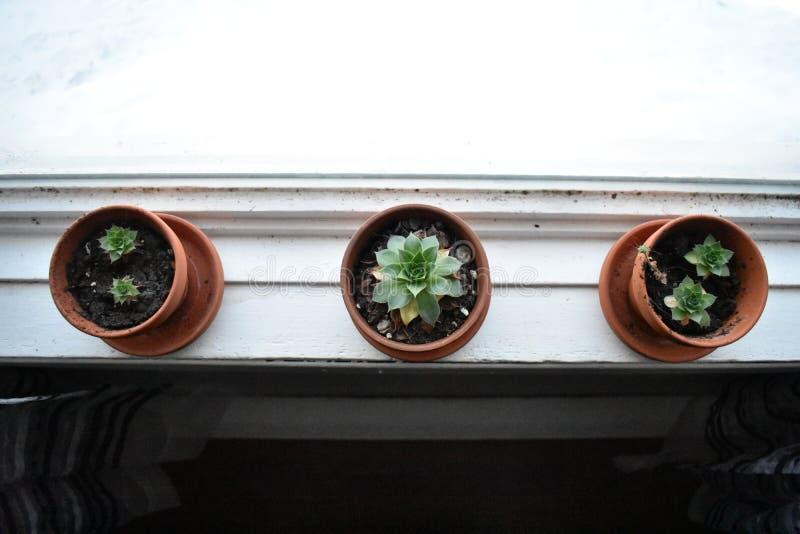 Τρεις από έναν καλό succulents σε μια στρωματοειδή φλέβα παραθύρων στοκ εικόνες