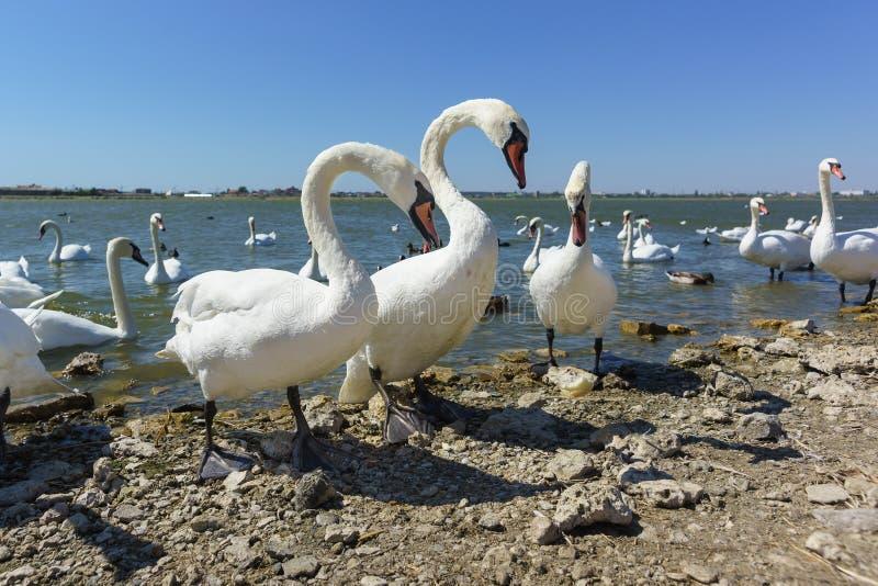 Τρεις από τις σιωπηλές Cygnus olor στην ακτή της λίμνης Sasyk-Sivash στην Κριμαία Ηλιόλουστη μέρα στοκ εικόνες με δικαίωμα ελεύθερης χρήσης