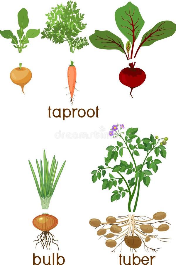Τρεις διαφορετικοί τύποι λαχανικών ρίζας στο άσπρο υπόβαθρο Φυτά με τα φύλλα και το σύστημα ρίζας ελεύθερη απεικόνιση δικαιώματος