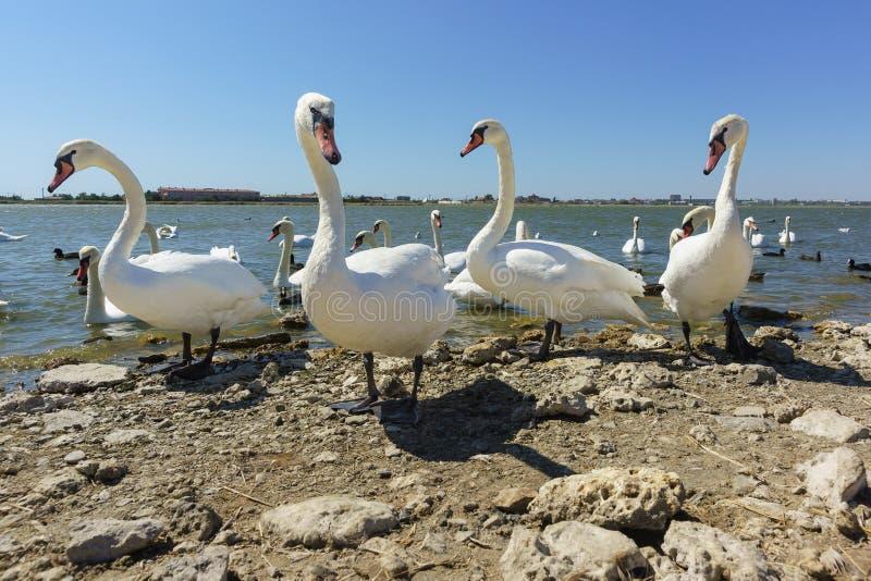 Τρεις ενήλικοι μεγάλοι κύκνοι Cygnus olor στην ακτή της λίμνης Sasyk-Sivash στην Κριμαία Ηλιόλουστη μέρα στοκ φωτογραφίες με δικαίωμα ελεύθερης χρήσης