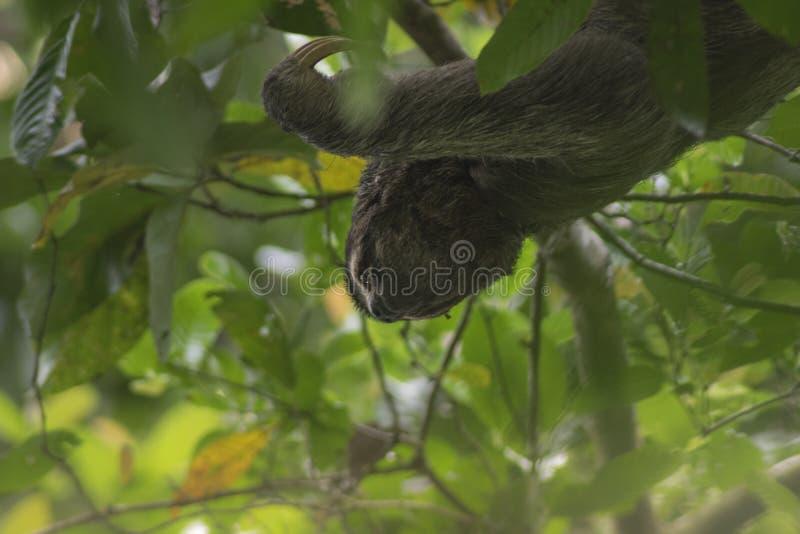 Τρεις-η νωθρότητα στο εθνικό πάρκο του Manuel Antionio στοκ εικόνα