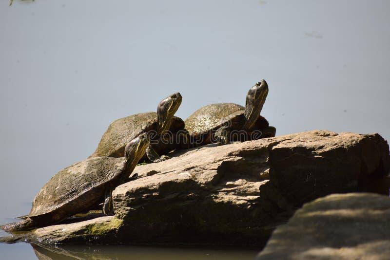 Τρεις κίτρινες διογκωμένες χελώνες ολισθαινόντων ρυθμιστών στοκ φωτογραφία