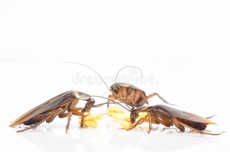 Τρεις κατσαρίδες που τρώνε τα τρόφιμα στο υπόβαθρο κουζινών που απομονώνεται στο άσπρο υπόβαθρο στοκ φωτογραφίες με δικαίωμα ελεύθερης χρήσης