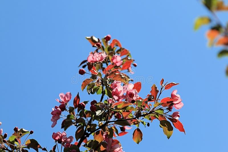 Τρεις κλάδοι δέντρων μηλιάς χρώματος στοκ φωτογραφίες
