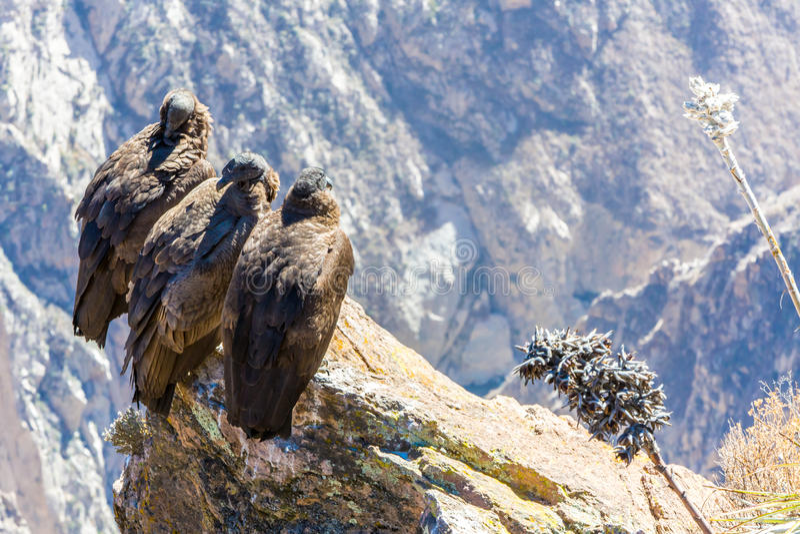 Τρεις κόνδορες στη συνεδρίαση φαραγγιών Colca, Περού, Νότια Αμερική. Αυτό είναι ένας κόνδορας το μεγαλύτερο πετώντας πουλί στοκ φωτογραφίες