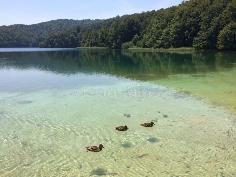 Τρεις πάπιες που κολυμπούν γύρω στοκ φωτογραφία
