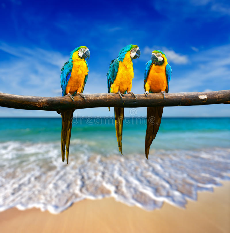 Τρεις παπαγάλοι (μπλε-και-κίτρινο Macaw (ararauna Ara) επίσης γνωστό α