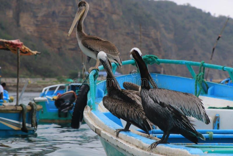 Τρεις πελεκάνοι, occidentalus pelicanus, κάθισμα ο μια φωτεινή μπλε βάρκα στον ωκεανό στοκ εικόνες