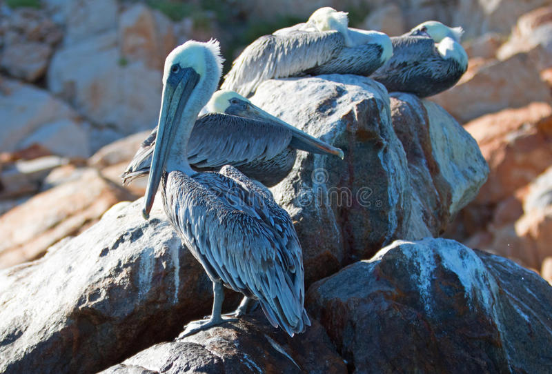 Τρεις πελεκάνοι που σε Pelikan λικνίζουν και λίθοι στο τέλος εδαφών σε Cabo SAN Lucas Baja Μεξικό στοκ εικόνα