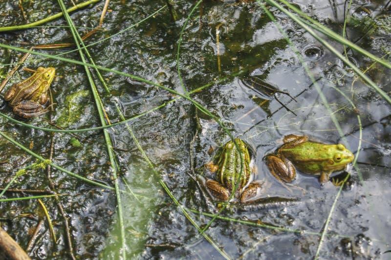 Τρεις πράσινοι βάτραχοι που επιπλέουν στη λίμνη στοκ εικόνα με δικαίωμα ελεύθερης χρήσης