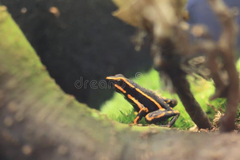 Τρεις-ριγωτός βάτραχος δηλητήριων στοκ φωτογραφία με δικαίωμα ελεύθερης χρήσης