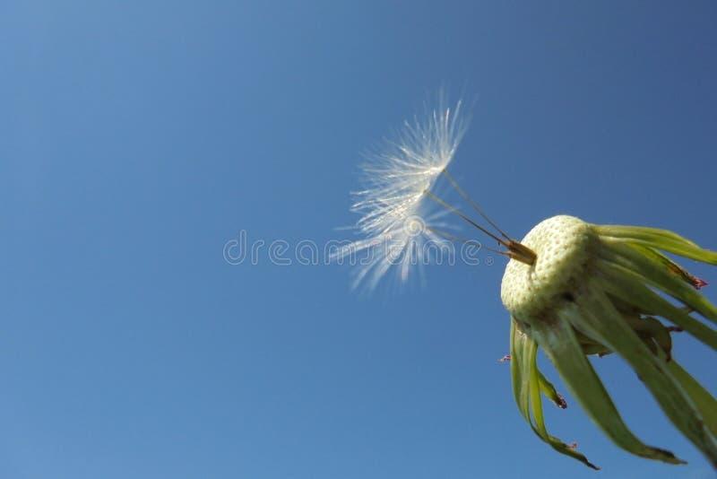 Τρεις σπόροι παρέμειναν στην κινηματογράφηση σε πρώτο πλάνο μίσχων λουλουδιών πικραλίδων στοκ εικόνες