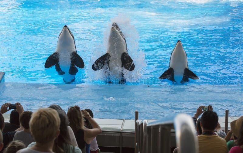 Τρεις φάλαινες δολοφόνων που πηδούν στην απόδοση Φλώριδα στοκ φωτογραφίες