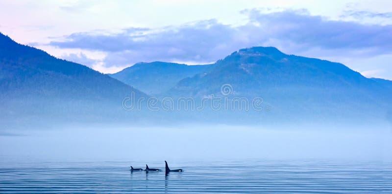 Τρεις φάλαινες δολοφόνων στο τοπίο βουνών στο Νησί Βανκούβερ στοκ φωτογραφία με δικαίωμα ελεύθερης χρήσης