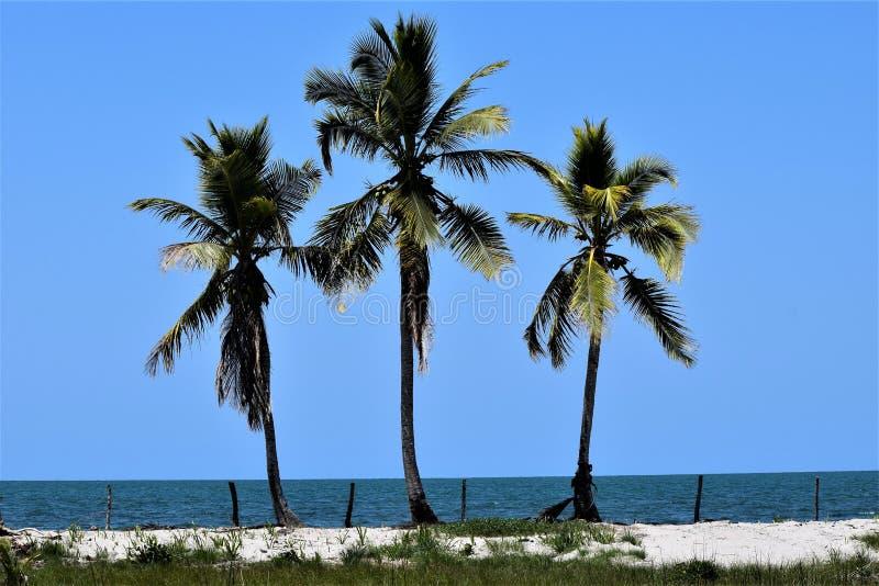 Τρεις φοίνικες καρύδων στις Καραϊβικές Θάλασσες στοκ εικόνα
