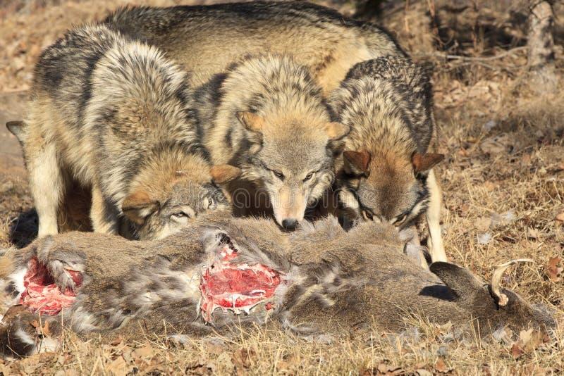 Τρεις λύκοι που ταΐζουν με το σφάγιο ελαφιών στοκ εικόνα με δικαίωμα ελεύθερης χρήσης