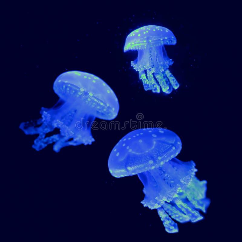 Τρεις Jellyfish πυράκτωσης στοκ εικόνες με δικαίωμα ελεύθερης χρήσης